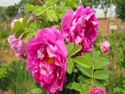 四季玫瑰 大量供应优质四季玫瑰苗 打造花海 绿化工程