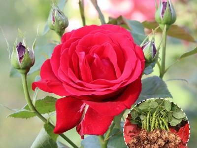 昆明玫瑰苗批发 芳香月季小苗 四季开花
