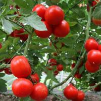 自然成熟新鲜西红柿批发