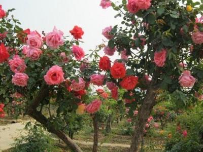 树状月季价格 3-5公分规格 嫁接月季 树形好 花开鲜艳 花多大 易成活