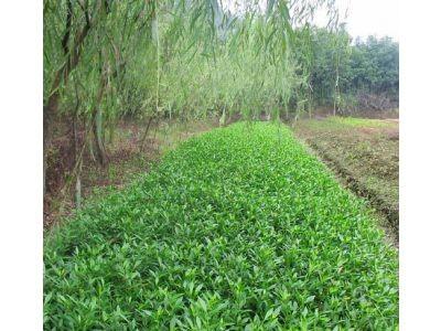 四川大量出售海栀子花工程苗以及单杆,基地直销供应
