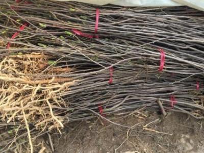 供应优质高产文冠果苗木