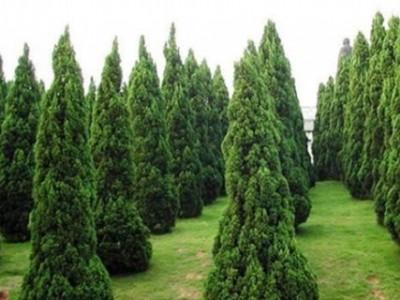 塔柏供应商,塔柏苗木生产基地,容器蜀侩介绍批发价格