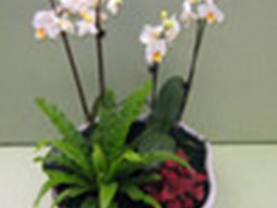 白蝴蝶兰 无土组合盆栽花卉植物 干净、卫生、环保 基地直销