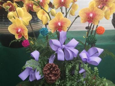 蝴蝶兰盆栽价格_蝴蝶兰价格 免费提供 蝴蝶兰种植方法 凡诺园林