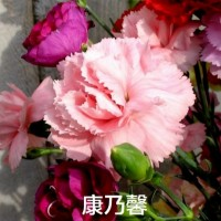 康乃馨花种子 混色盆栽花卉 种子四季易种 混搭花籽开花不断