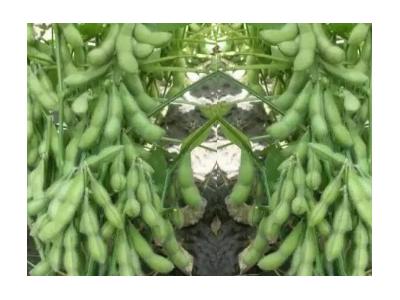 优质菜用毛豆蔬菜种子 500克装