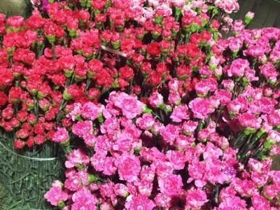 【3扎可保鲜】教师节感恩节母亲节康乃馨鲜切花云南种植基地直供