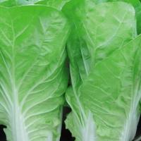 小白菜种子,营养娃娃菜四季快菜,10克入装