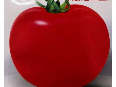 番茄种子 早熟 红果大番茄种子,宏达巨星,5克装