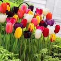 荷兰郁金香种球 大球种子 花卉 室内外 水培 土培 盆栽 四季开花 带花芽苞