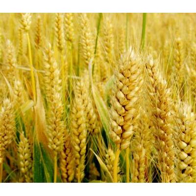 小麦基本保险