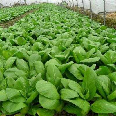 蔬菜种植、农作物新品种选育