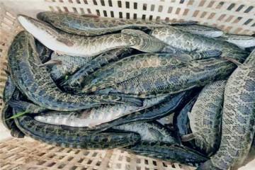 2020年养殖黑鱼有市场前景吗?成本和利润分别是多少?