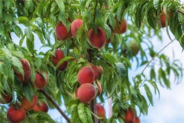 桃树难种吗?常见病虫害防治技巧有哪些?