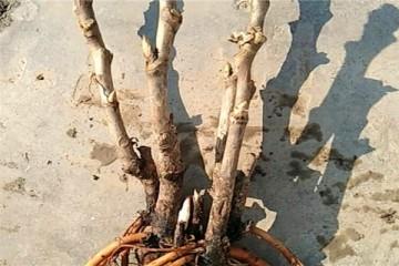 牡丹难种吗?怎样种植成活率高花的品质好?