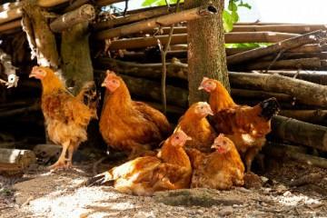 养300只土鸡的成本和利润分别是多少呢?具体都是来自哪些方面呢?