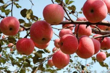 陕西有哪些特色农产品?有哪些是比较著名的?