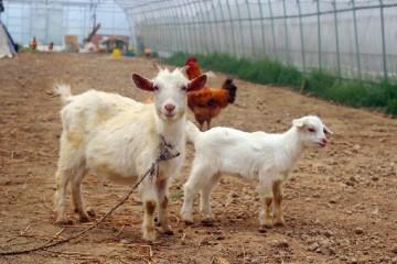 小尾寒羊的养殖成本怎么算?一百只小尾寒羊的利润怎么样?