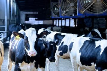 喂养一头奶牛的成本有多少?在喂养过程中需要注意哪些方面?
