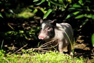 2020年非洲猪瘟还会继续吗?2020年我国下发了哪些关于养猪的政策?
