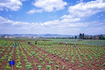 2020年农村创业,5大农村经济作物种植项目推荐