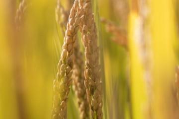 受疫情影响,2020年水稻会涨价吗?