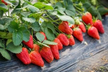什么是草莓白粉病?草莓白粉病的防治方法有哪些?