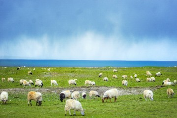 哪些品种的羊好养?不同品种的羊各有什么特点?