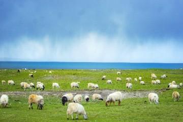 养殖50只羊的需要投入多少成本?50只羊一年利润有多少?