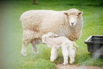 2020年养羊挣钱吗?养羊存在哪些风险?