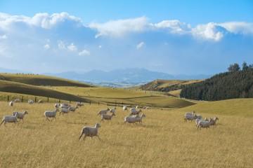 养羊需要投资多少钱?养羊的成本主要来自于哪些方面?