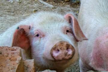 2020年养猪能挣钱吗?2020年养猪的利润怎么样?