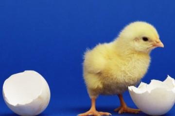 养鸡怎么育雏?雏鸡养殖技术要点有哪些?