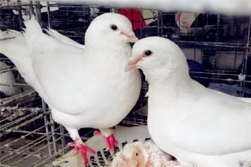 肉鸽养殖技术:什么品种好?平时吃什么饲料?