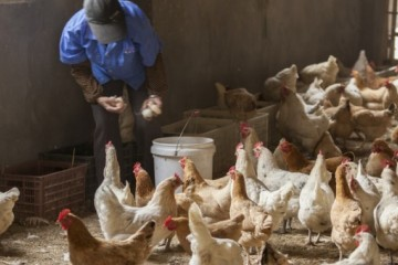 2020年蛋鸡行业发展趋势、养殖技术要点有哪些?