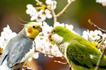 我国可以合法养殖的鹦鹉有哪些?养殖场怎么建设?