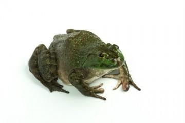牛蛙是怎么进行养殖的?养殖牛蛙有哪些要点?