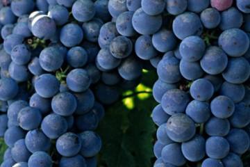 葡萄施肥用什么肥料?有哪些注意事项?