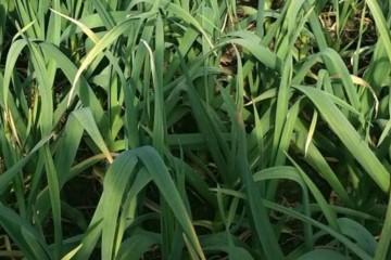 大蒜追肥用什么肥料?什么时候施肥比较好?