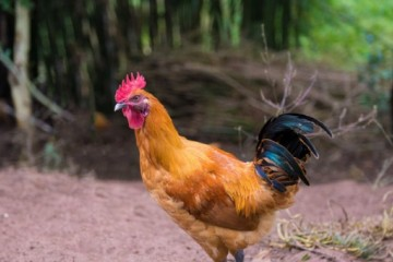 土鸡养殖场可以办在山区吗?应该注意哪些问题?