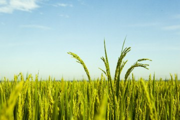 水稻的病虫害有哪些?水稻的病虫害怎么防治?