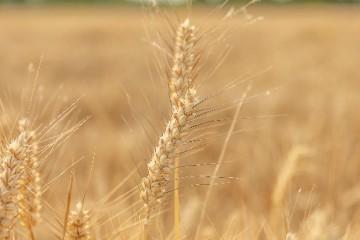 什么是小麦的秆锈病?小麦秆锈病怎么进行防治?