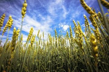 什么是小麦叶锈病?小麦叶锈病怎么进行防治?