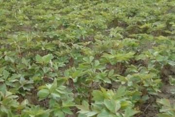牡丹苗怎么种植成活率高?具体步骤是什么?