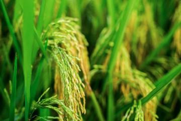 农业农村部工作组赴广西、云南调研,统筹农作物重大病虫害防控