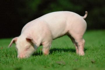 生猪生产局面继续向好,生猪产销秩序基本恢复