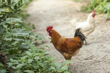 我国的土鸡品种有哪些?土鸡苗多少钱一只?