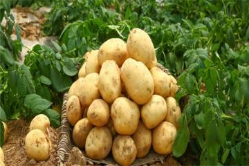 马铃薯一般用什么繁殖?种植技术要点有哪些?