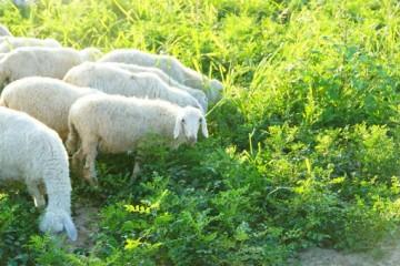 我国的肉羊品种有哪些?种羊多少钱一只?